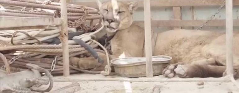 20 évig volt egy cirkuszi társulat rabja, de megmentették – Íme a puma első szabad lépései