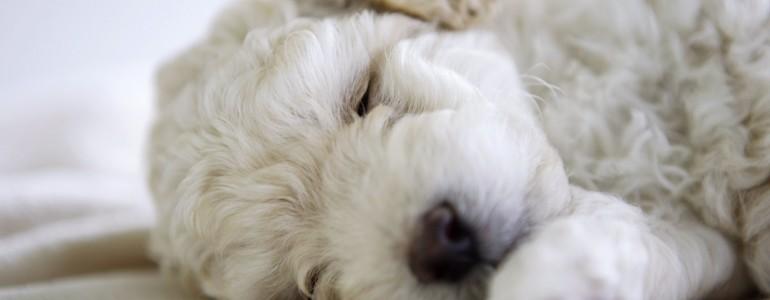 6 kutyafajta, aki lakásban is jól érzi magát