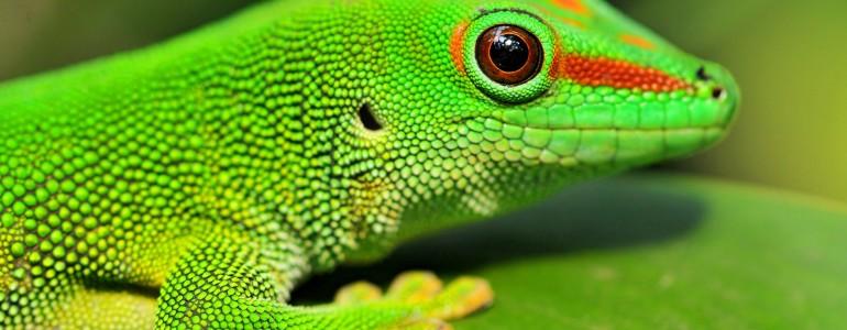 Brit kutatók szerint gekkónál nagyobb állat képtelen lenne tapadós talpakkal falra mászni