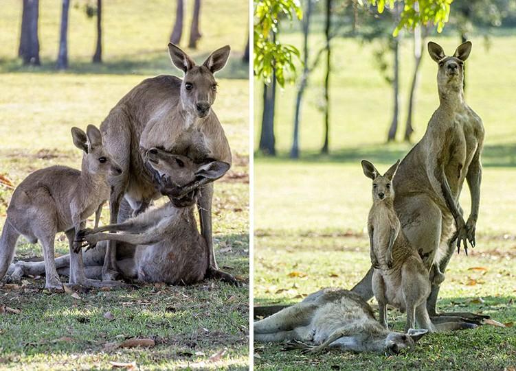 Még egyszer utoljára kölyke felé nyúlt a haldokló kengurumama