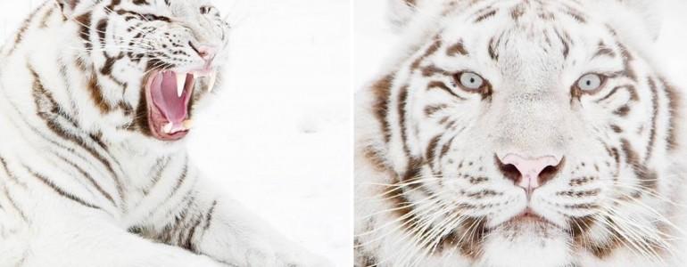 Csodálatos téli fotók a Nyíregyházi Állatpark fehér tigriséről