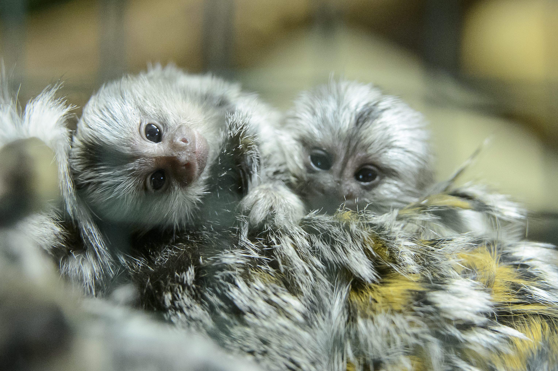 Fehérpamacsos selyemmajmok születtek a Gyöngyösi Állatkertben