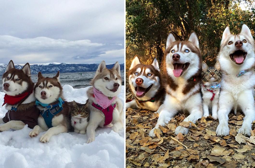 3 husky és egy megmentett cica alkotja a világ egyik legaranyosabb családját