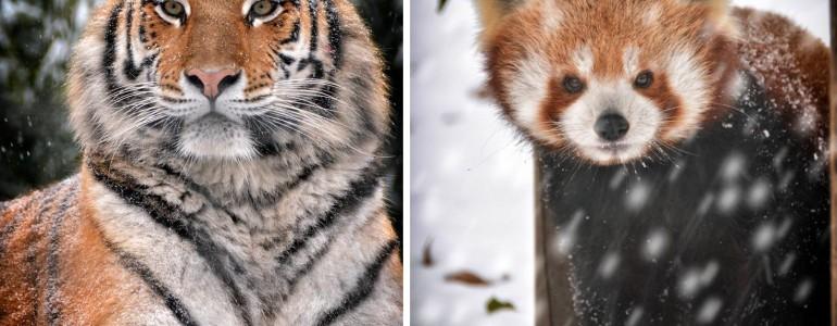 Csodás fotók a téli hóesést élvező budapesti állatkert lakóiról