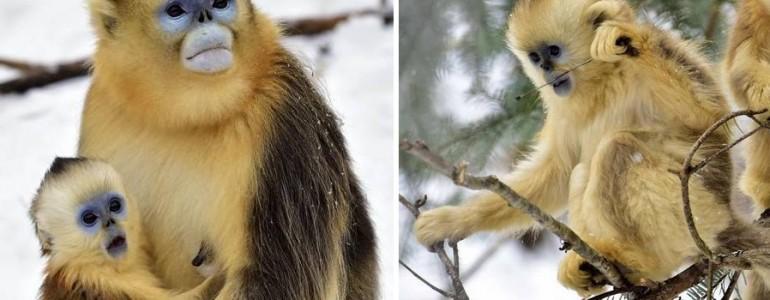 Életükben először találkoztak hóval ezek a majmok – nézd, hogy reagáltak!