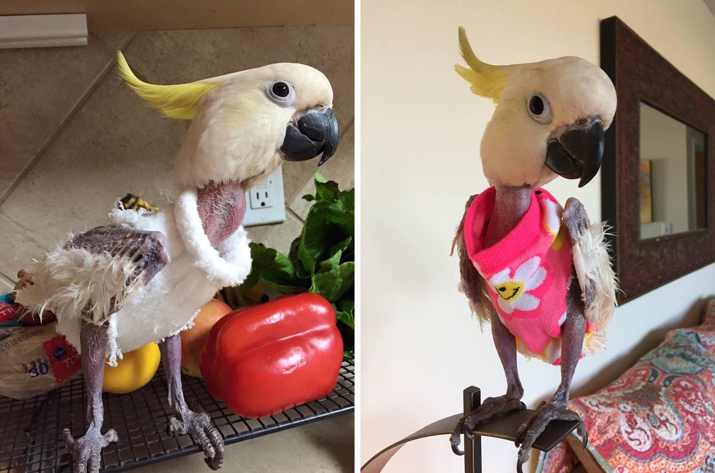Aprócska pulóverek tartják melegen a depressziós papagájt, aki kitépkedte saját tollazatát