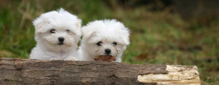 A világ 5 legkisebb kutyafajtája