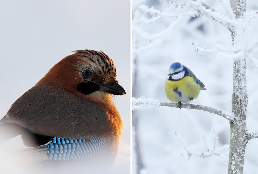 Órákat töltött a fotós a hidegben, hogy megörökítse ezeket a gyönyörű madarakat