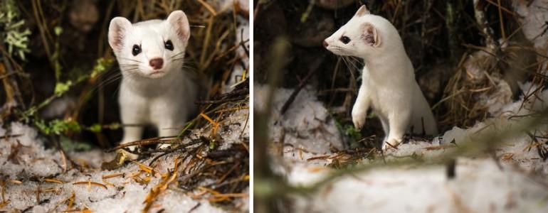 Kirándulás közben készültek a legaranyosabb fotók, méghozzá egy hermelinről