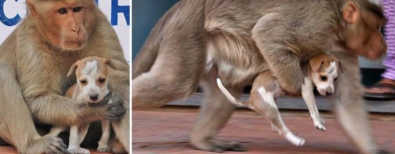 Sajátjaként neveli a kiskutyát ez az érző lelkű makákó