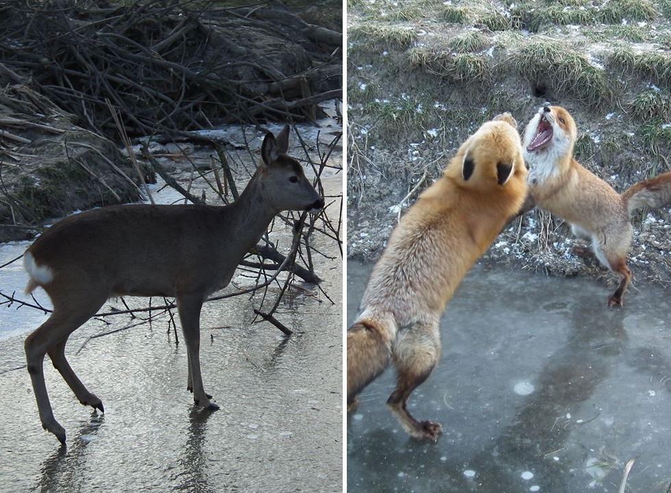 A jég hátán is megélnek a Hortobágyi Vadaspark állatai