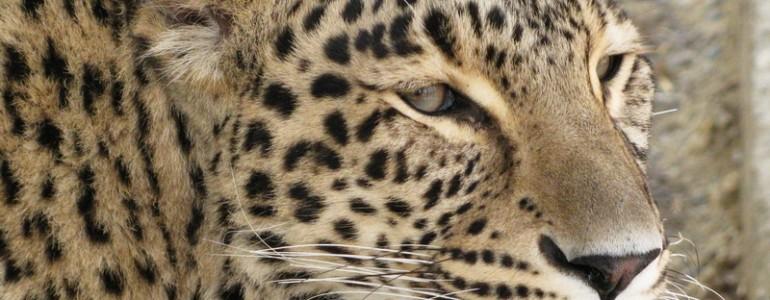 Párt kapott Tareca, a Miskolci Állatkert leopárdja