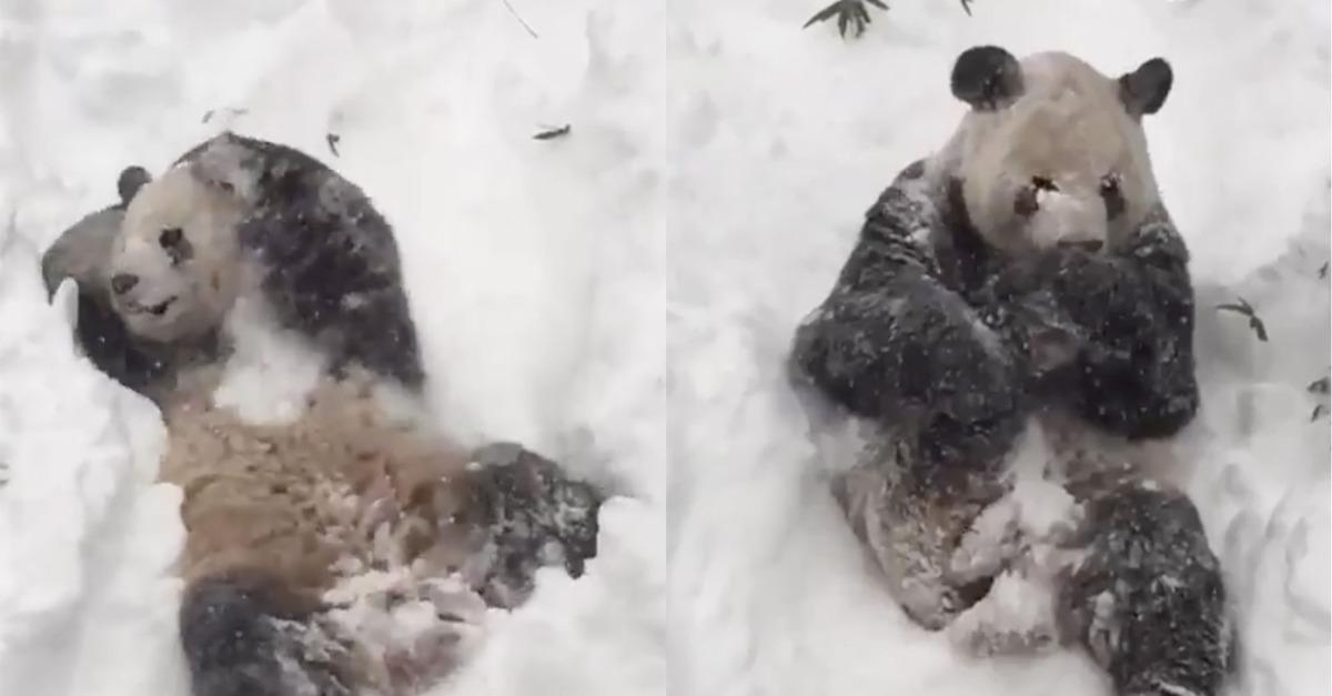 Minden bánatod elszáll, ha meglátod ezt a hóban játszadozó pandát