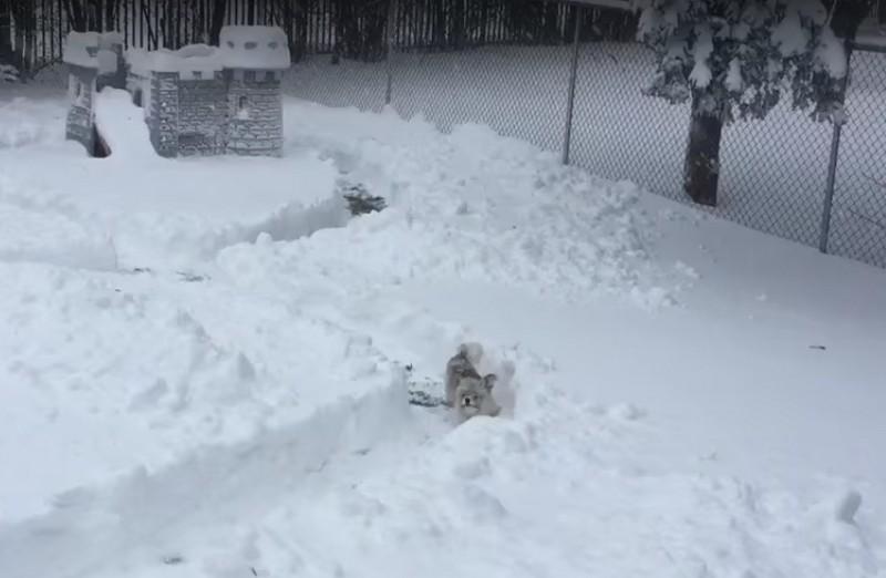 Hatalmas labirintust készített hóból a gazdi – Nézd, hogy örül neki a kutyus!