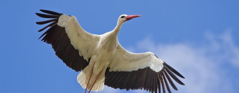 Jobb eséllyel élik túl a telet a költözés helyett a szeméttelepeket választó gólyák