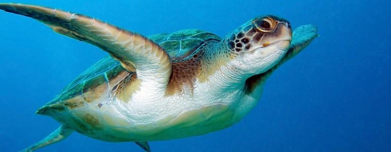 Pusztulástól megmentett tengeri teknőst engedtek szabadon Ausztráliában