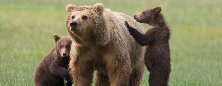 Az enyhe időjárás miatt nem alszanak téli álmot a medvék a Pireneusokban
