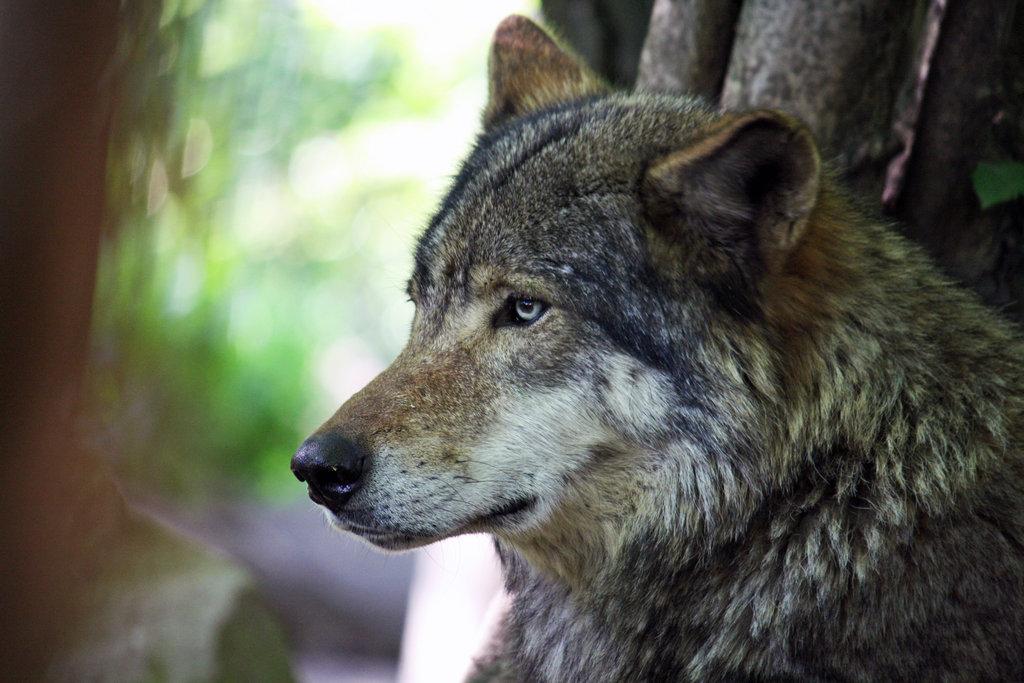 Megtermett ordassal nézett farkasszemet a Bükkben egy vadász