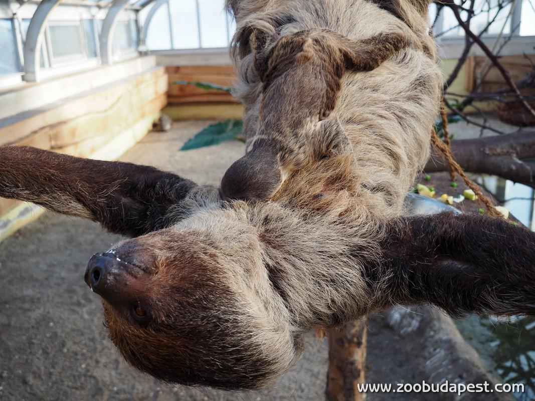 Lajhárkölyök született a Fővárosi Állatkertben