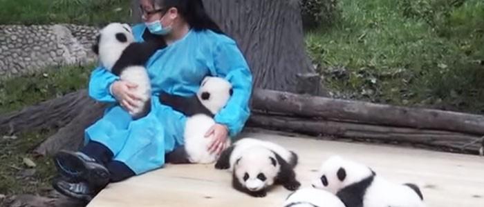 Megvan a világ legjobb munkája: hivatásos pandaölelgető!