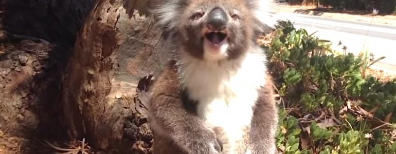 Hihetetlen hisztit csap a koala, aki összeveszett társával egy kényelmes ág miatt