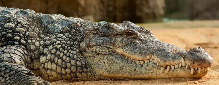 Szökevény krokodilokat találtak egy kairói csatornában