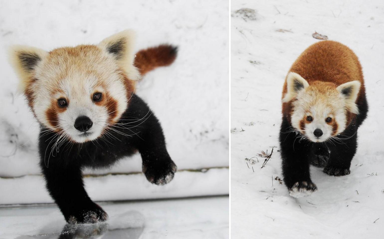 Úgy élvezik a hóesést a Nyíregyházi Állatpark vöröspandái, akár a gyerekek
