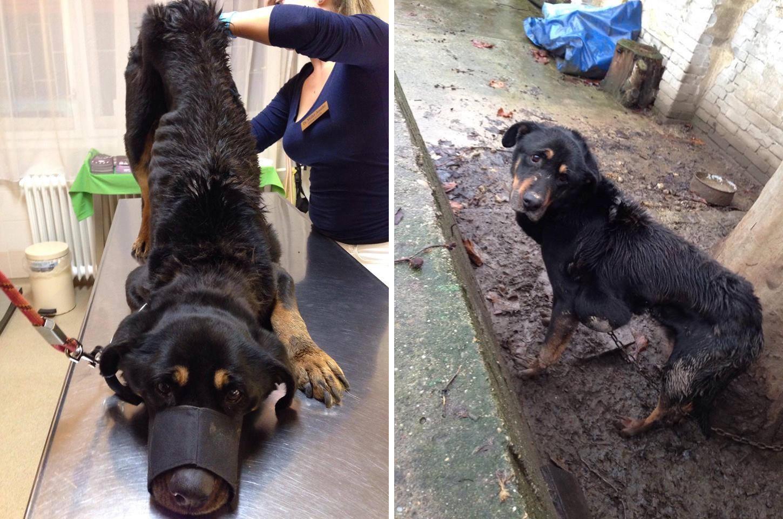 Borzalmas állapotban találtak rá a hónapok óta láncra vert kutyusra Csepelen
