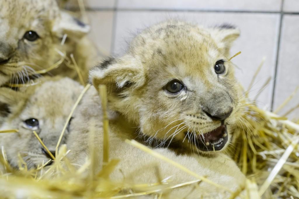 Gyöngyös, 2016. február 23. Afrikaioroszlán-kölykök a Gyöngyösi Állatkertben 2016. február 23-án. A két nõstény és egy hím kölyök január 12-én született. MTI Fotó: Komka Péter