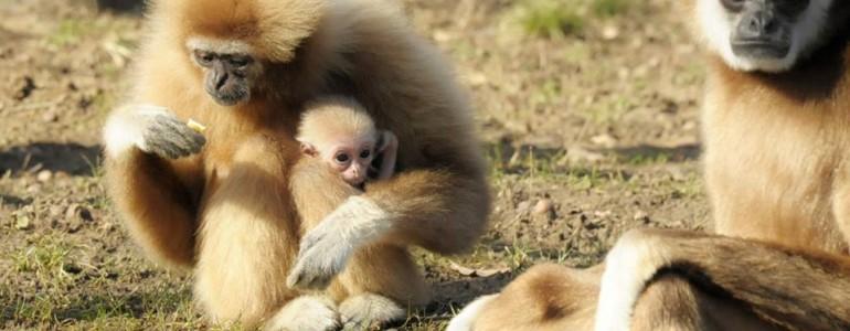 Gibbon született a Nyíregyházi Állatparkban