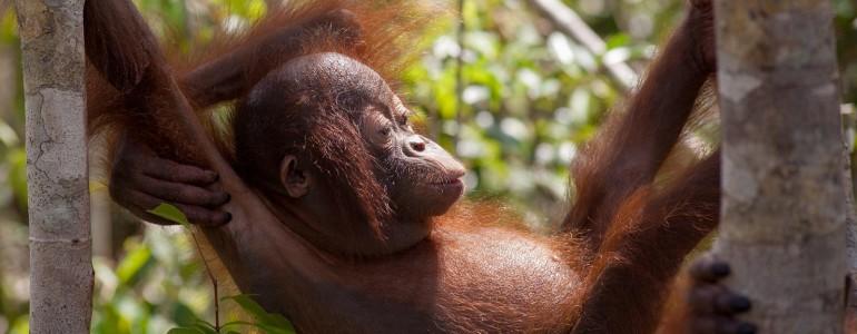 Videojátékot fejlesztettek a melbourne-i állatkert orangutánjainak