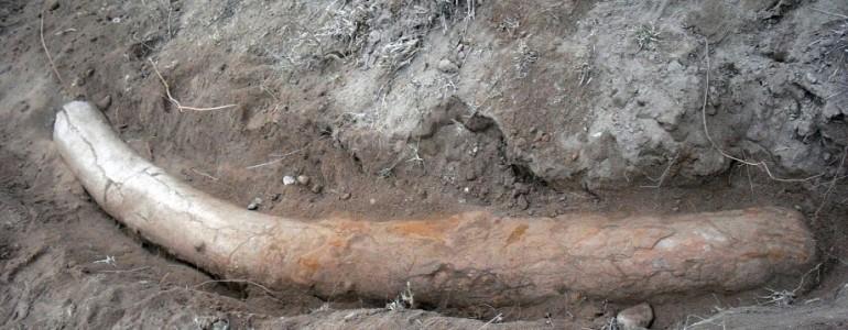 Egymillió éves stegodonagyarra bukkanhattak