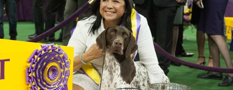 Egy rövidszőrű német vizsla nyerte a legrangosabb amerikai kutyakiállítást