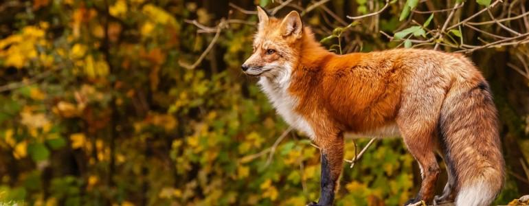Veszett rókát találtak Szerencsen, a Nébih fokozott óvatosságra int