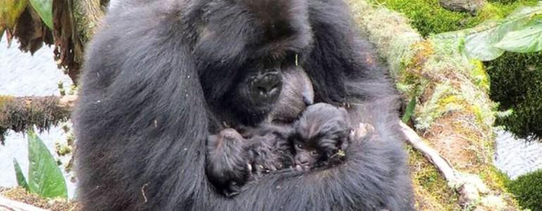 Gorillaikrek születtek a Közép-afrikai Köztársaságban