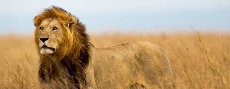 Ismeretlen oroszlánpopulációra bukkantak az etióp-szudáni határnál