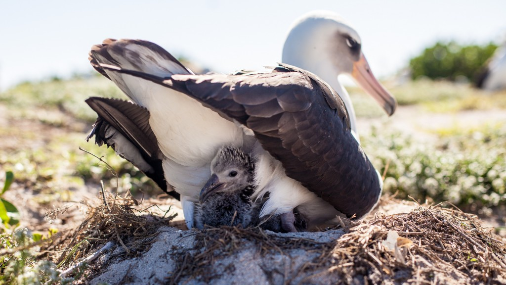Wisdom, a Laysan albatross that's believed to be 65 years old, and her mate have welcomed a new chick at the Midway Atoll National Wildlife Refuge. Here, aweek-old chick peeks out from its nest