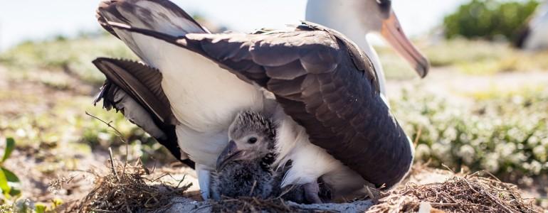 Ismét fiókákat nevel a legidősebb ismert vadon élő madár