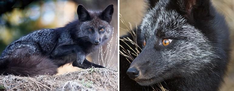 Elképesztő fotók a gyönyörű és ritka fekete rókákról