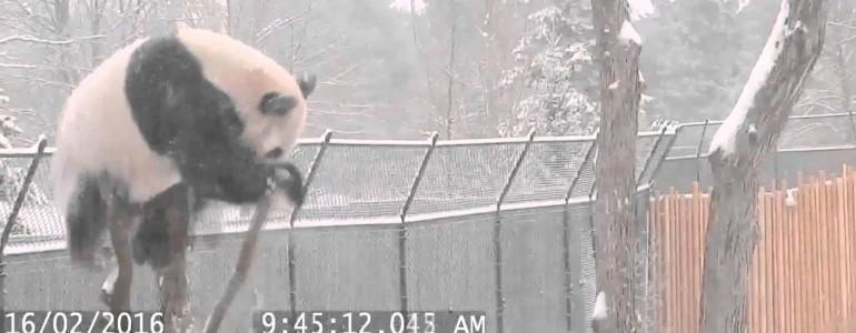 Kabaréba illő, ahogy ez a panda a kifutójában bukdácsol