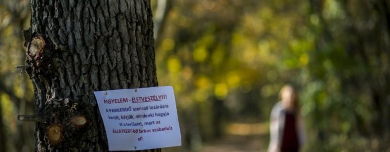 Négyszázezer forintot kell fizetnie a Pécsen megszökött farkas kilövőjének