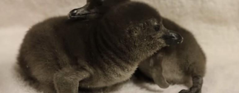 Ilyen az, amikor két újszülött pingvin először találkozik egymással
