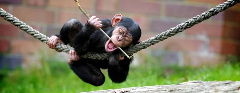 Az embergyerek magától jön rá az eszközhasználatra, akár a vadon élő emberszabásúak