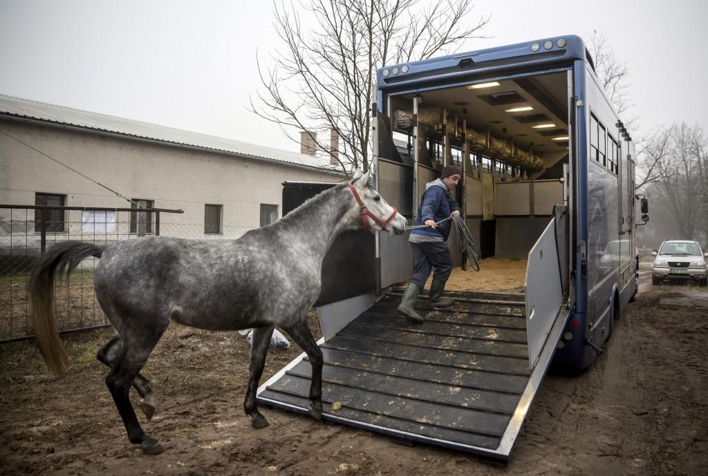 Üllõ, 2016. január 29. Lázár András gondozó vezet fel az egyik lovat egy lószállító jármûre a kínai exportra felkészített tenyész- és versenylovak karanténistállójánál a Szent István Egyetem Állatorvos-tudományi Kar Dóra majori Tangazdaságában 2016. január 29-én. Közel egyéves elõkészítést követõen ezen a napon megkezdõdött a magyar tenyész- és versenylovak szállítása Kínába. MTI Fotó: Mohai Balázs