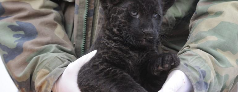 Nem lehet betelni a szegedi jaguárbébivel