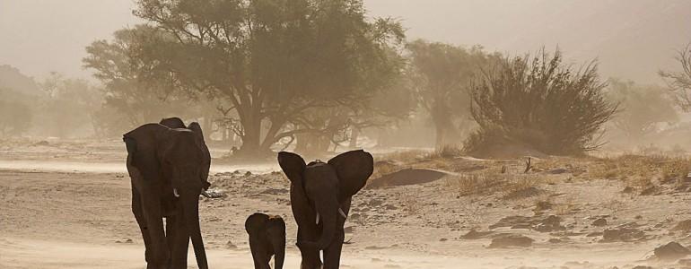 Három éven belül kipusztulhatnak a sivatagi elefántok Maliban