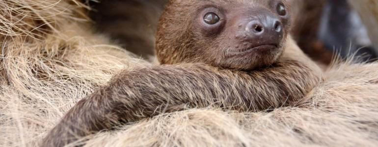 Újszülött lajhárbébiről készített felvételt a budapesti állatkert
