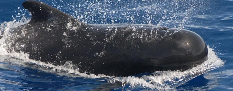 Mérgező anyagokat találtak a Skóciában partra vetődött és elpusztult delfinek szervezetében