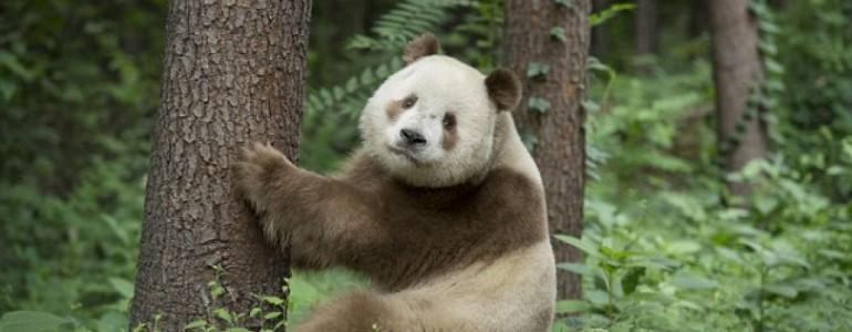 Átvészelte a nagy hidegeket a világ egyetlen barna pandája