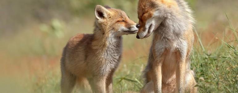 Fotók, amik ékesen bizonyítják a rókák egymás közötti kötelékét